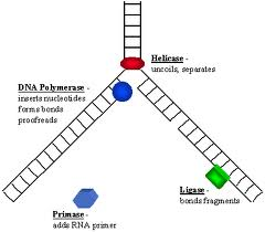 dna_enzymes-2