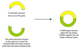 dna_enzymes-5