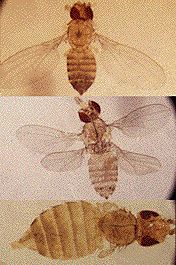 Fruit flies have altered the number of wings