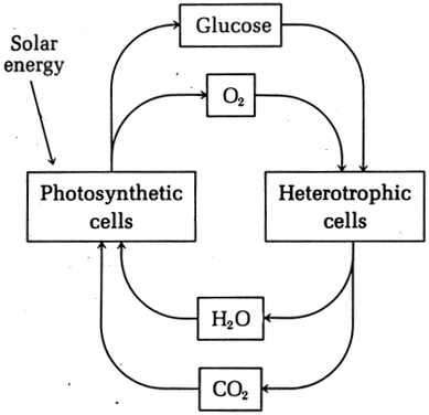 Oxygen Cycle Definition